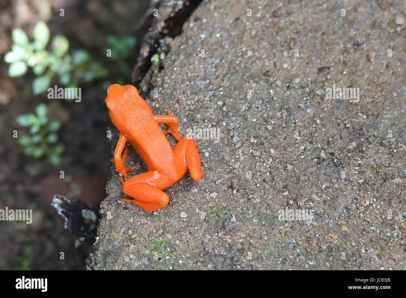 Golden mantella (Mantella aurantiaca) frog, Kirindy National Park, Madagascar - Stock Image