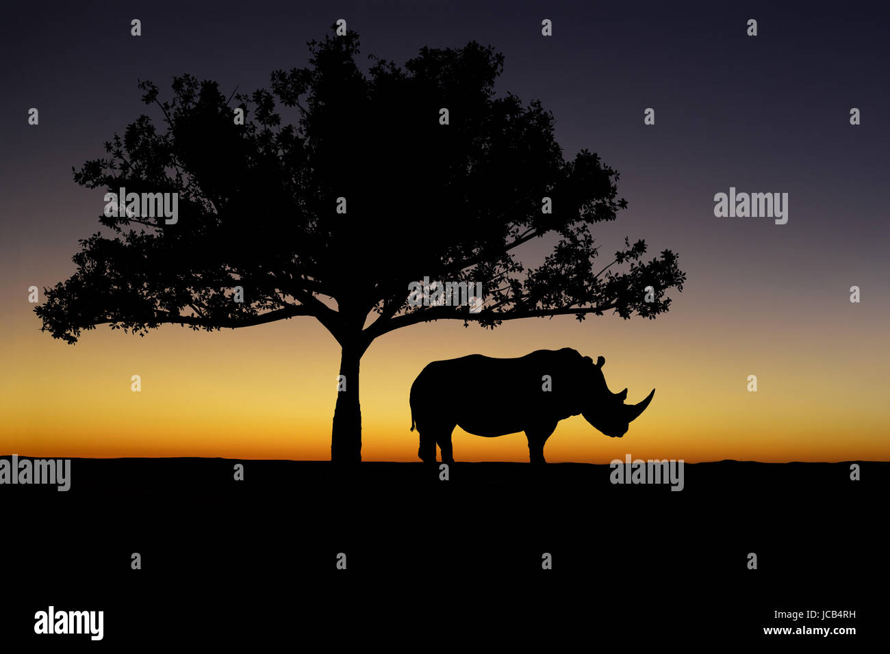 A White Rhino stands silhouetted under a tree at sunset - Stock Image