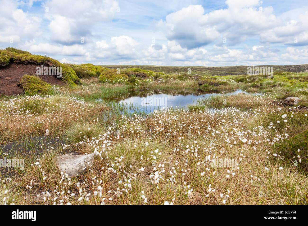 British landscape: Moorland with cotton grass on the Kinder Scout plateau, Derbyshire, Peak District National Park, - Stock Image