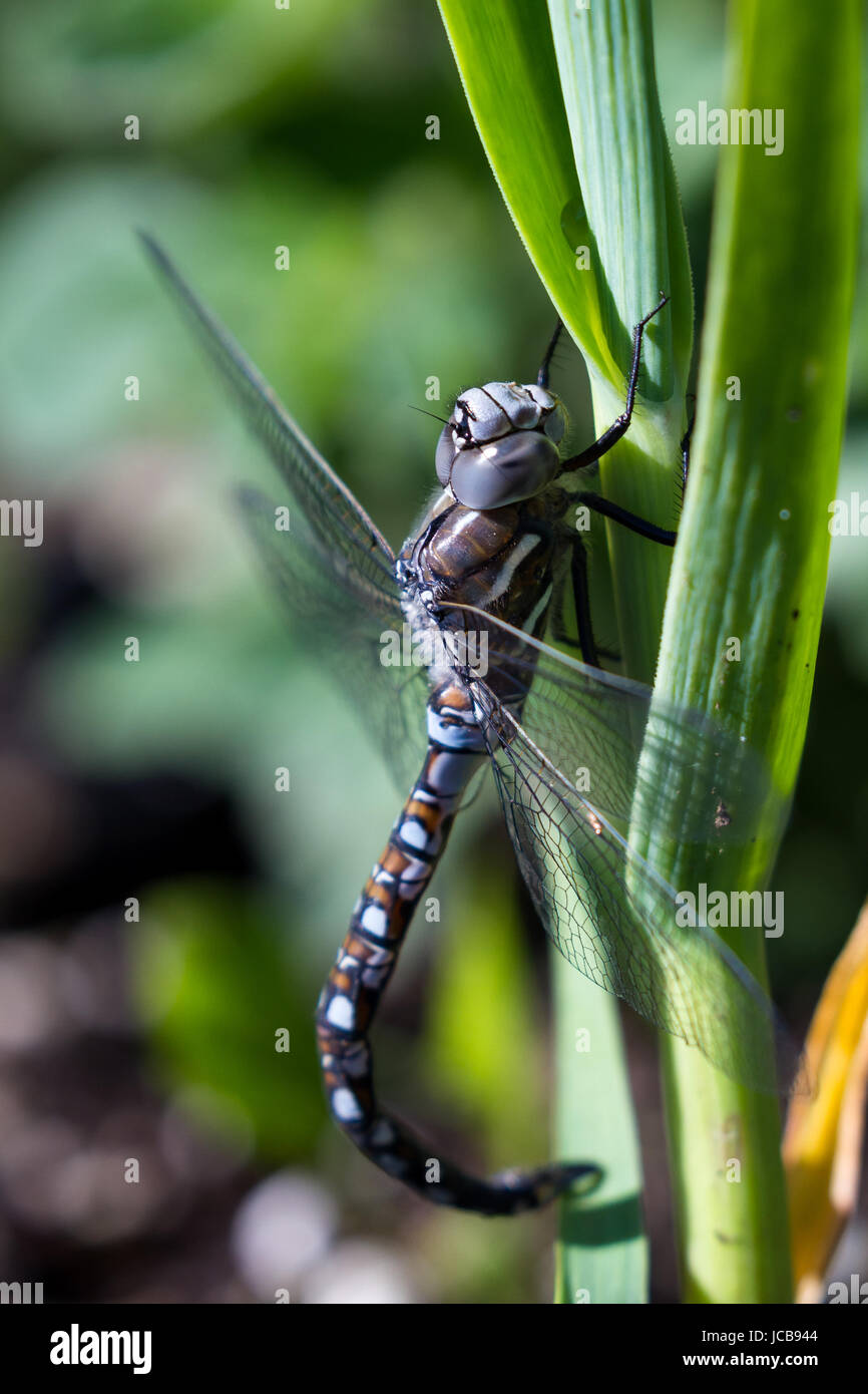 close up of an adult blue dragonfly hanging on to a green onion in the garden. Stock Photo