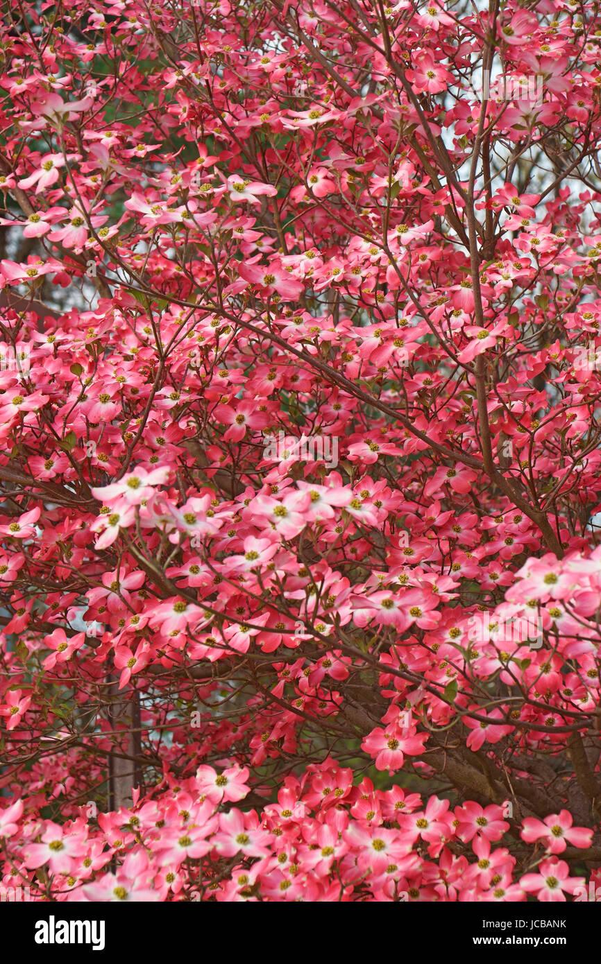 Flowering Dogwood (Cornus florida). Called American Dogwood and Eastern Dogwood also. State tree of North Carolina, Stock Photo