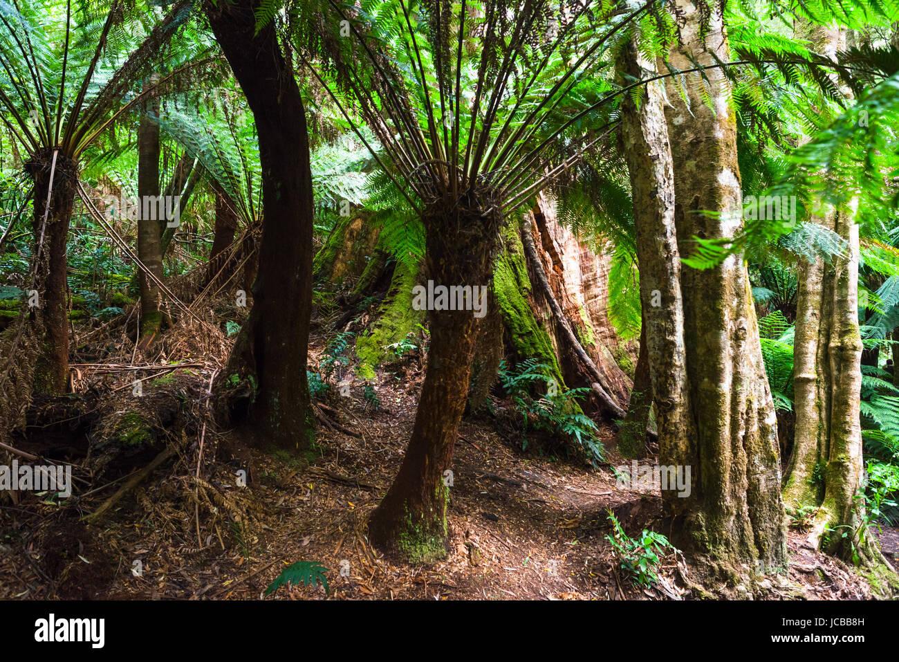 Dicksonia antarctica Rain forest at Melba Gully State Park, Great Otway National Park, Vitoria, Australia. - Stock Image