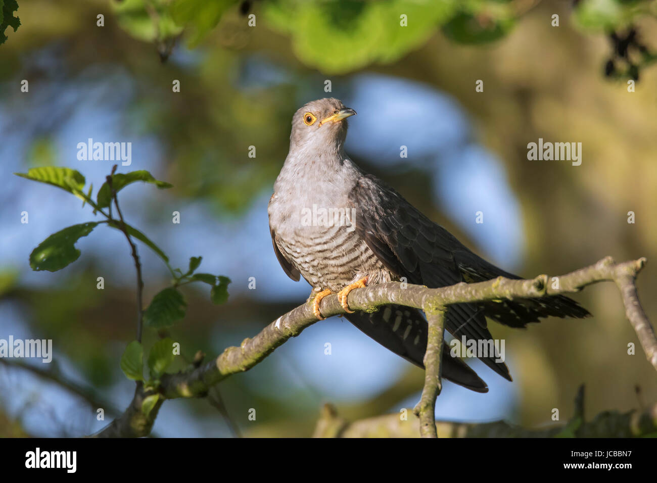 Common cuckoo (Cuculus canorus) male perched in tree in spring - Stock Image