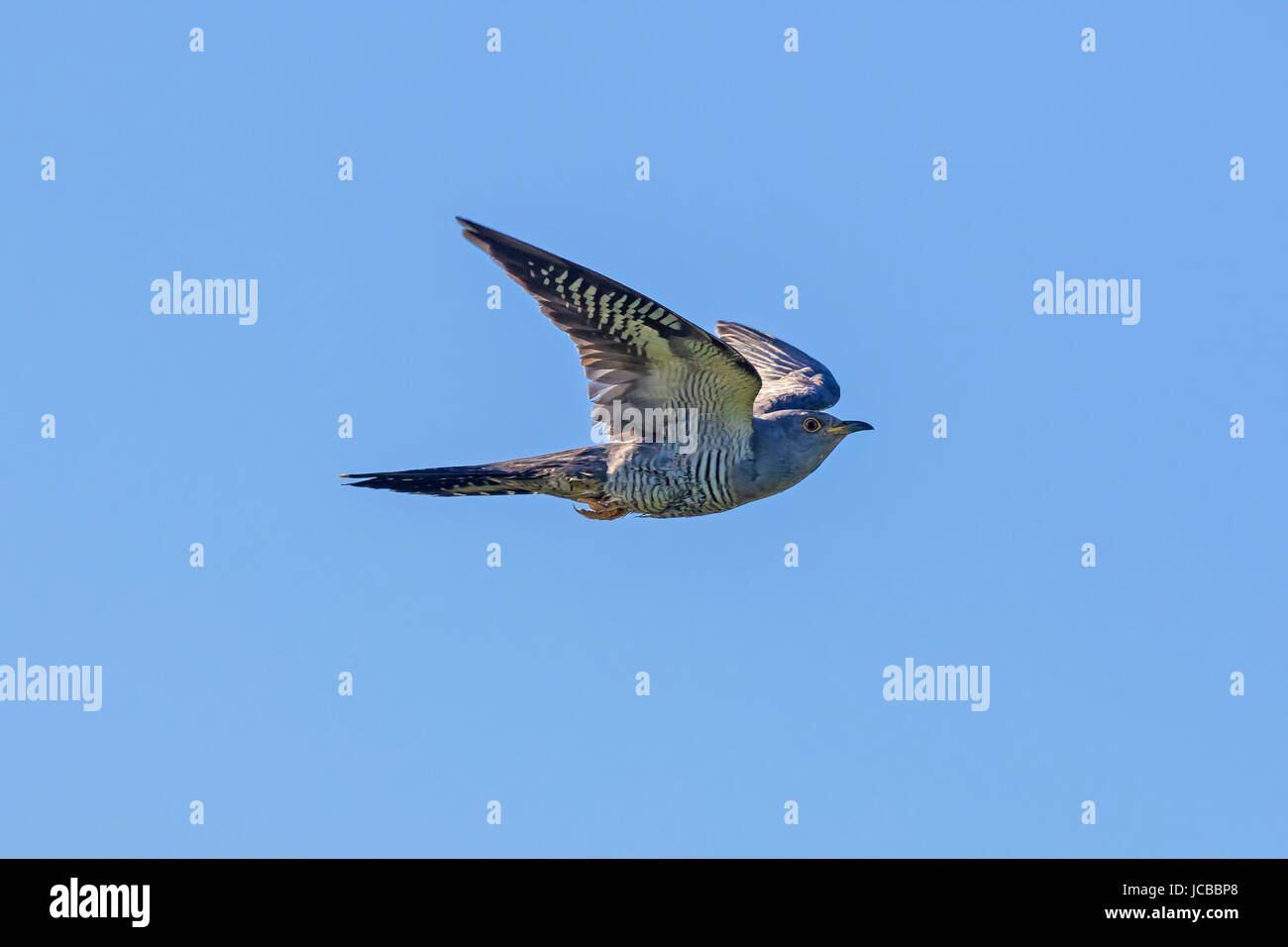 Common cuckoo (Cuculus canorus) male in flight against blue sky - Stock Image