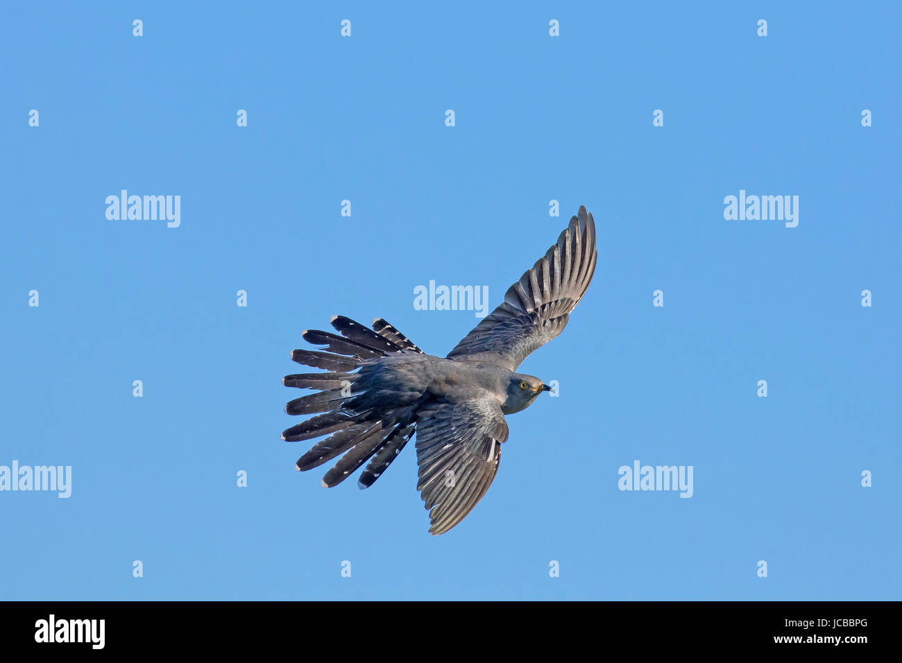 Common cuckoo (Cuculus canorus) male in flight with spread tail feathers against blue sky - Stock Image