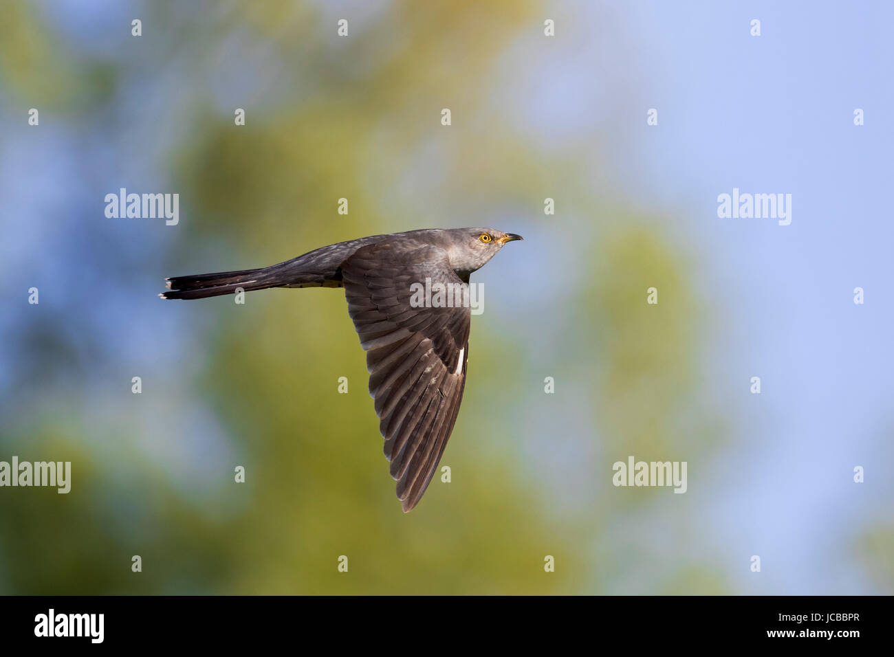 Common cuckoo (Cuculus canorus) male in flight - Stock Image