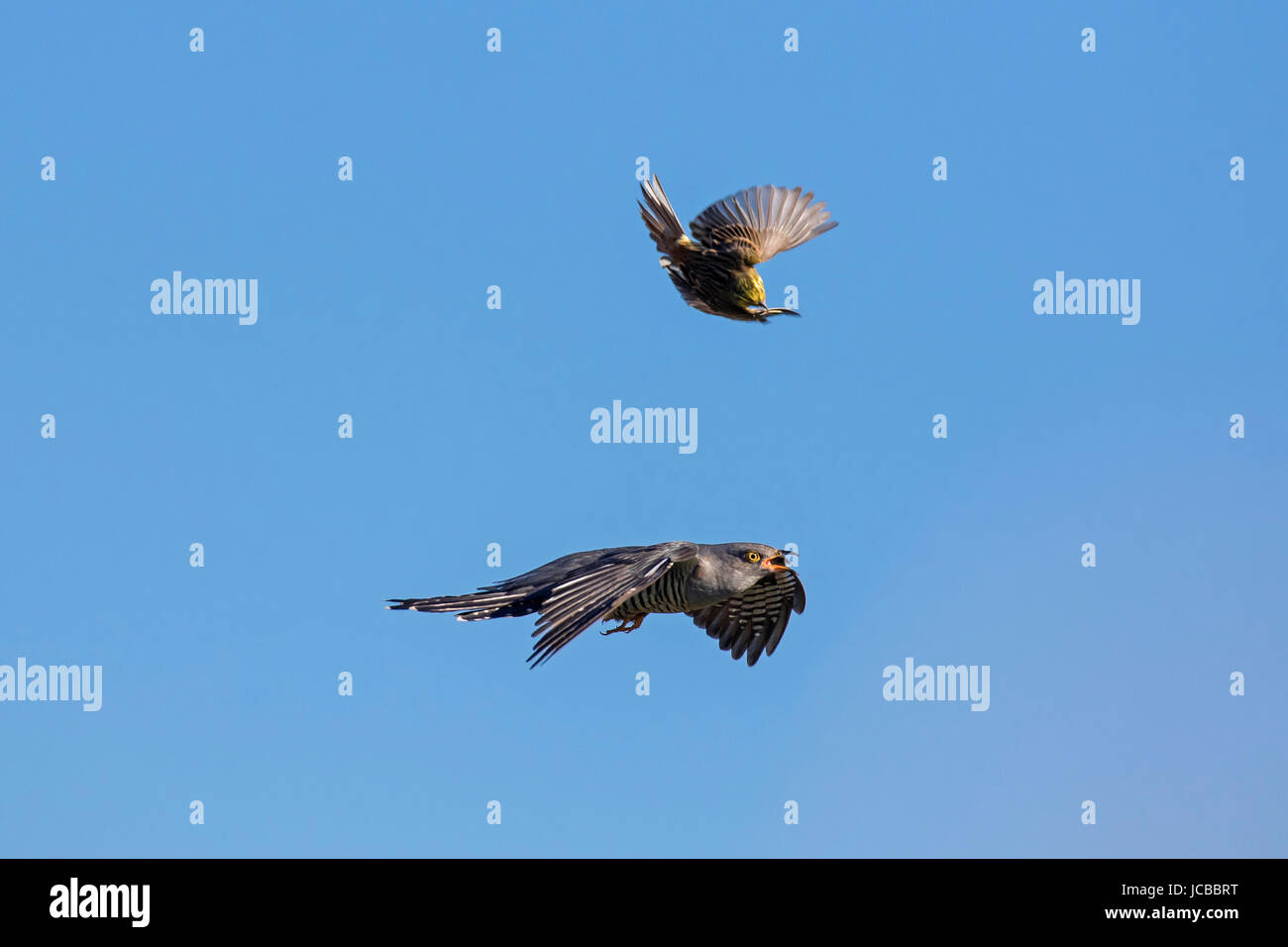 Common cuckoo (Cuculus canorus) mobbed by yellowhammer (Emberiza citrinella) in flight Stock Photo
