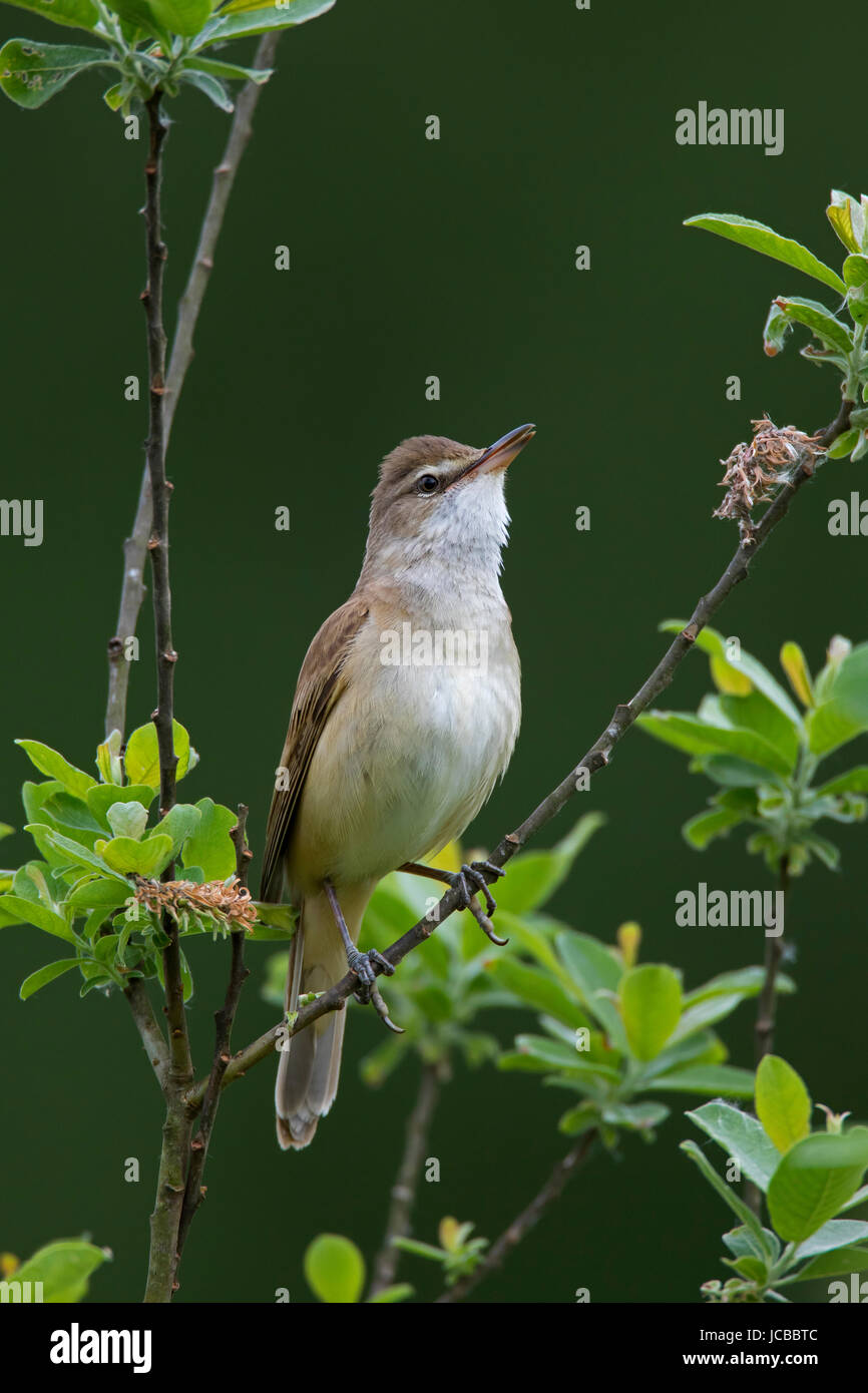 Great reed warbler (Acrocephalus arundinaceus) male perched in tree in spring - Stock Image