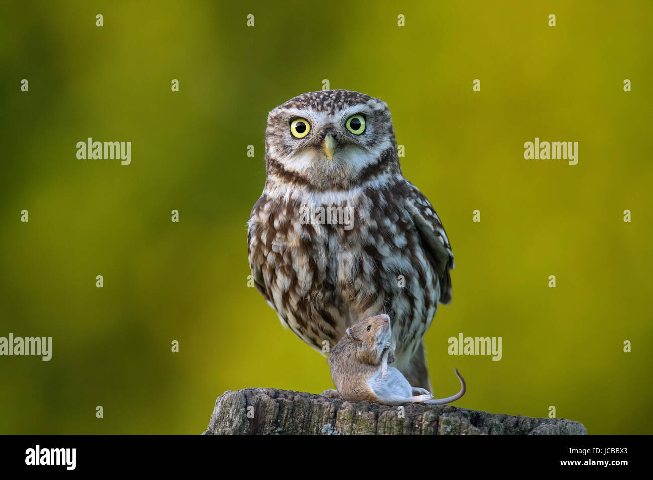 Little owl (Athene noctua) perched on weather-beaten wooden fence post with caught mouse prey - Stock Image