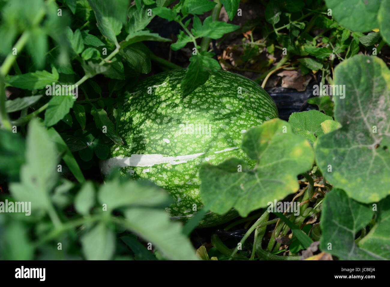 watermelon on the field in spain Stock Photo