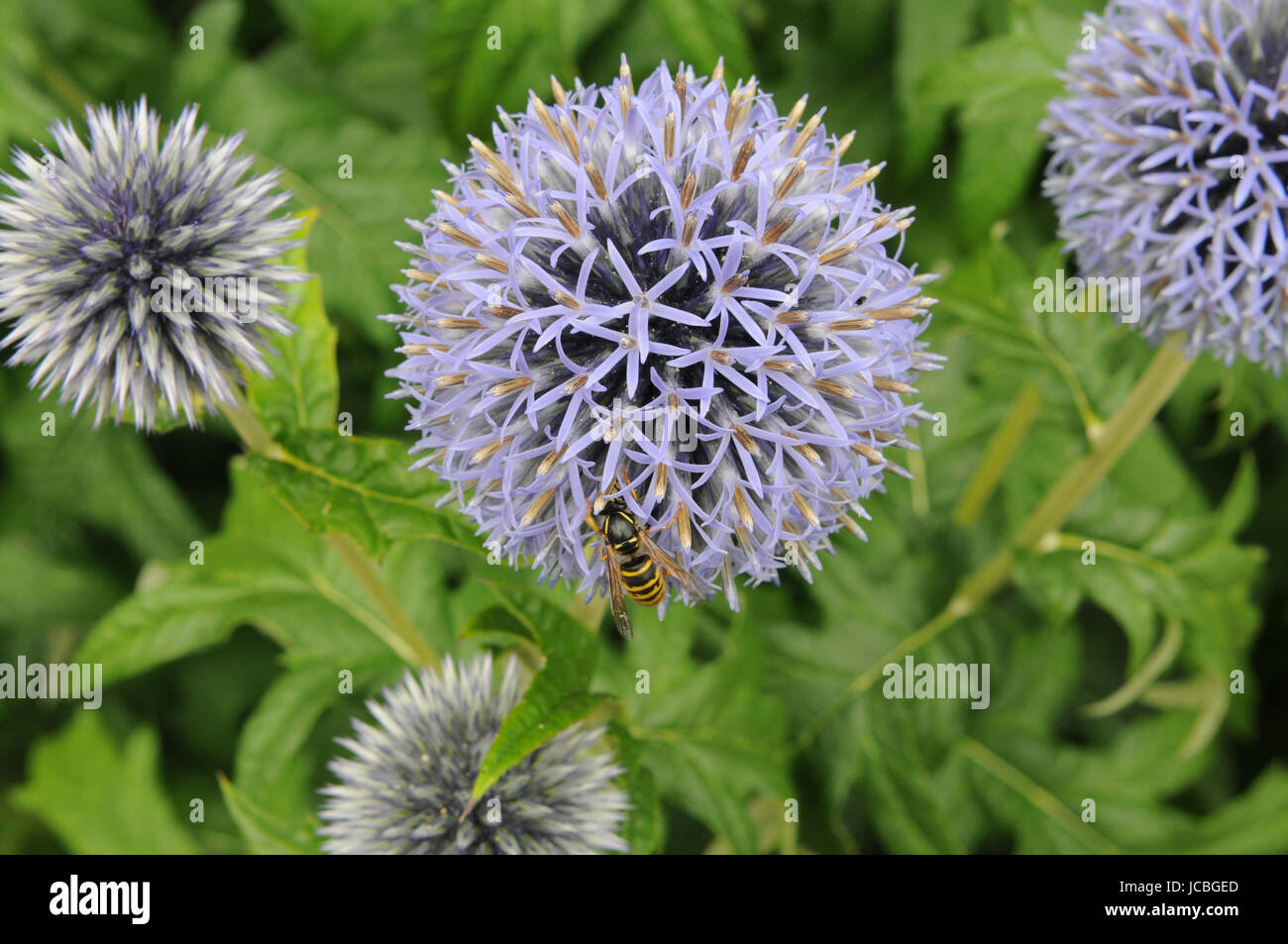 Blue globe thistle with a wasp - Stock Image