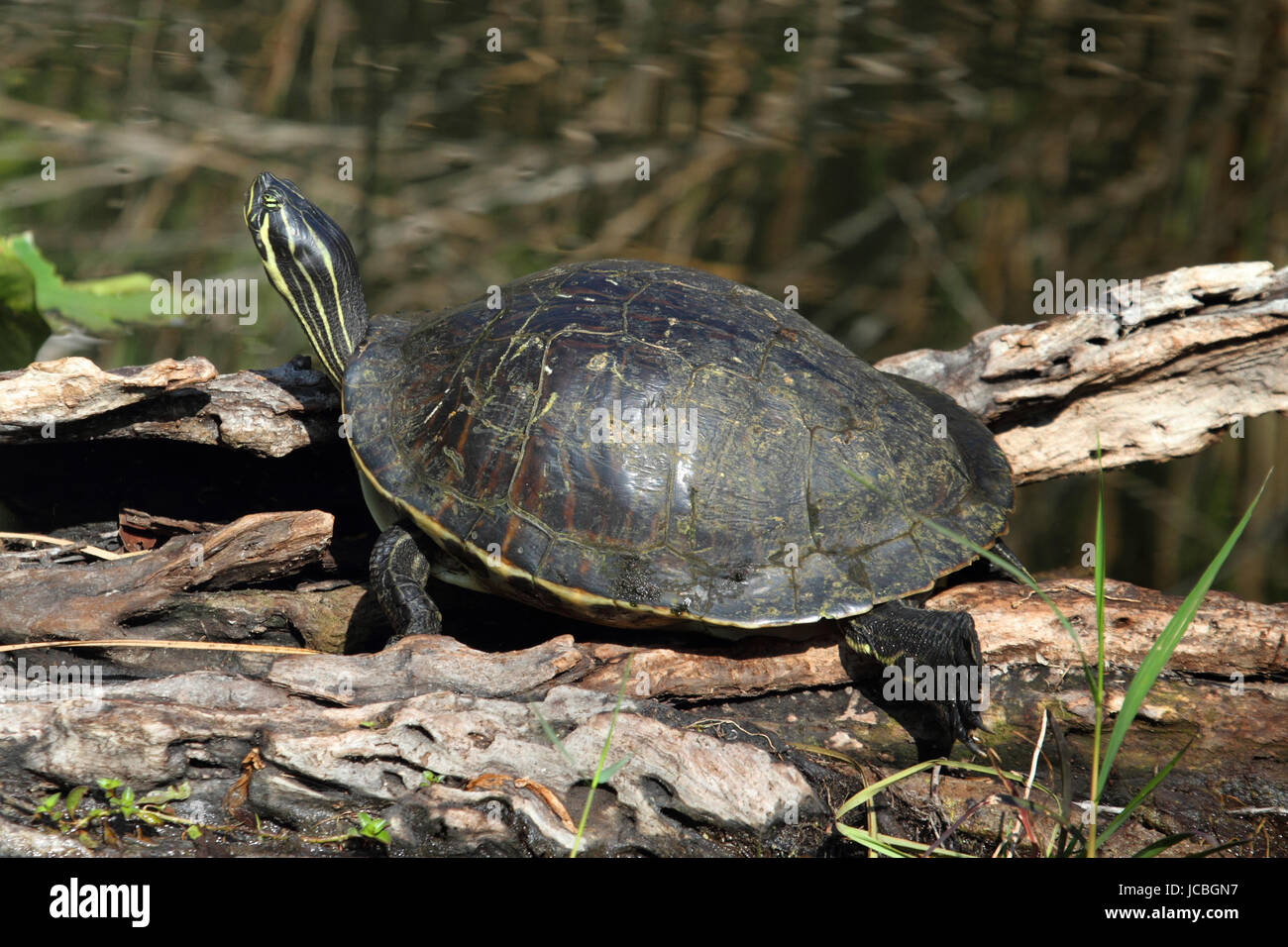 Florida Red-bellied Cooter (Pseudemys Chrysemys nelsoni) in the Florida Everglades Stock Photo