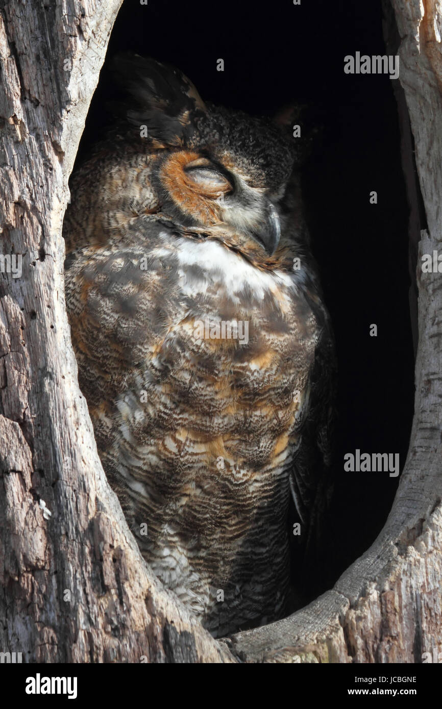 Great Horned Owl (Bubo virginianus) sleeping in a hole in a tree Stock Photo