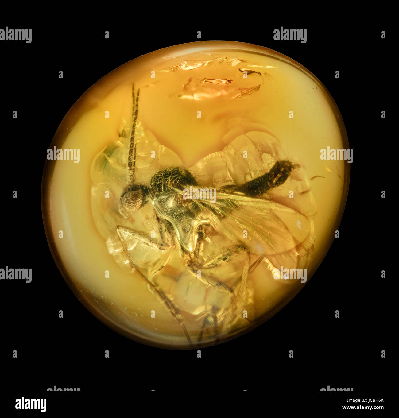 Fossilised fly in amber resin, hard, translucent originating from extinct coniferous trees of the Tertiary period - Stock Image