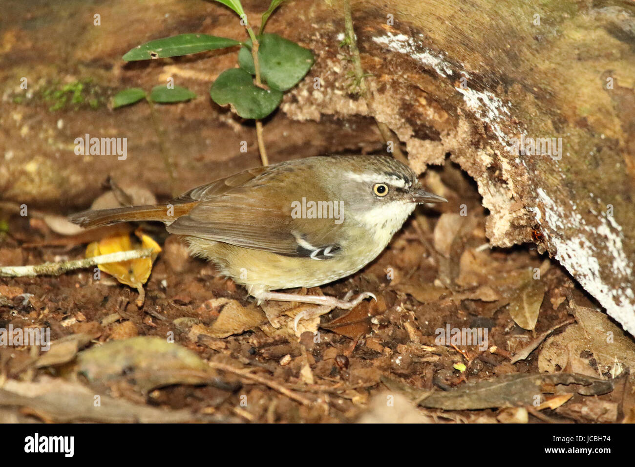 A White-browed Scrub Wren searching for food in an Australian forest. - Stock Image