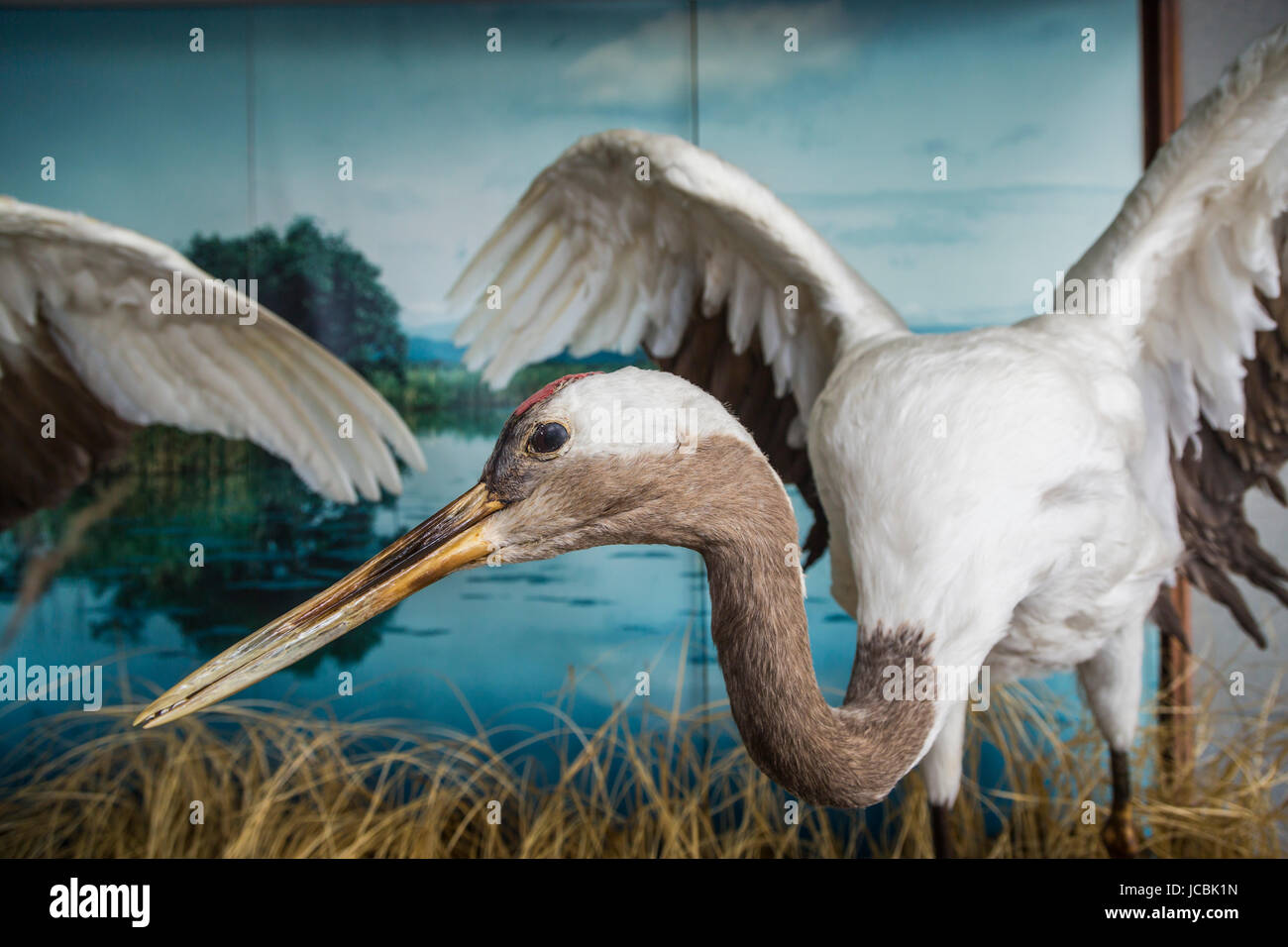 A large crane bird exhibited in Kushiro City, prefecture, Hokkaido, Japan.. - Stock Image