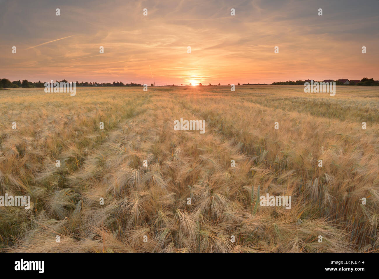 A cereal is any grass cultivated for the edible components of its grain (botanically, a type of fruit called a caryopsis), Stock Photo