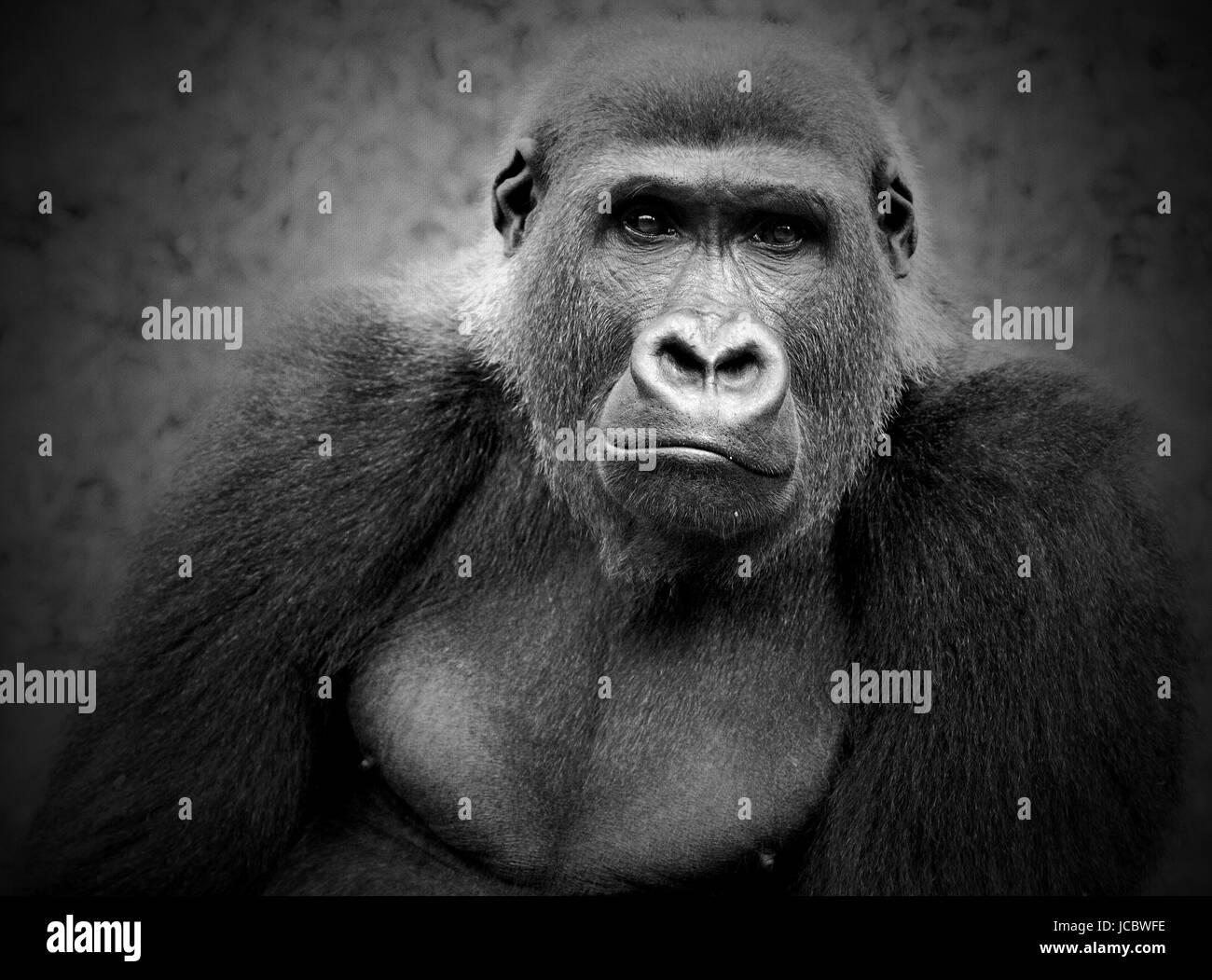 primat augenkontakt - Stock Image