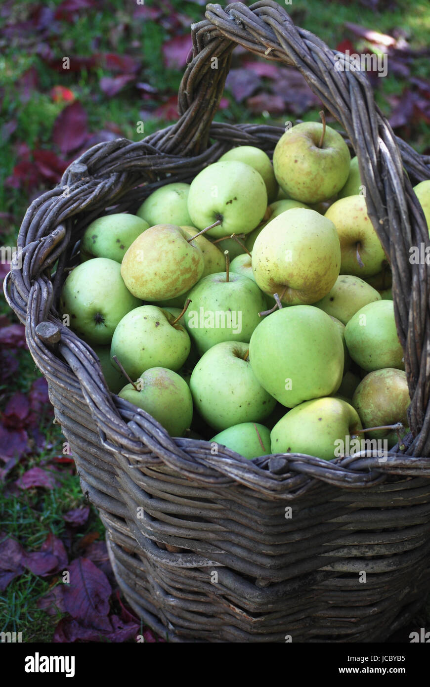 Basket of freshly harvested apples from the autumn orchard - Stock Image