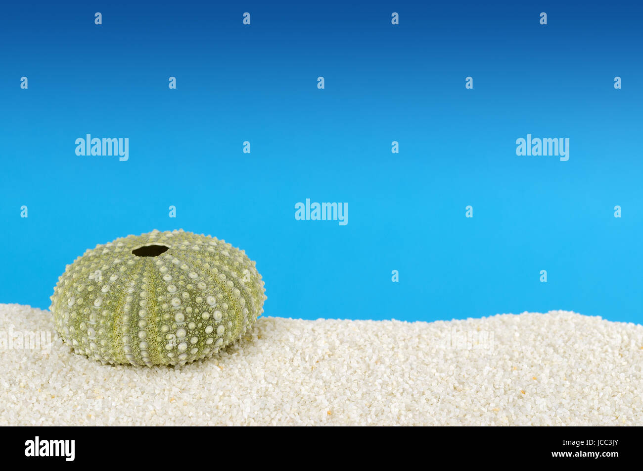 Two green sea urchin shells on white sand with blue background. Urchins, also sea hedgehogs, with globular endoskeleton, - Stock Image