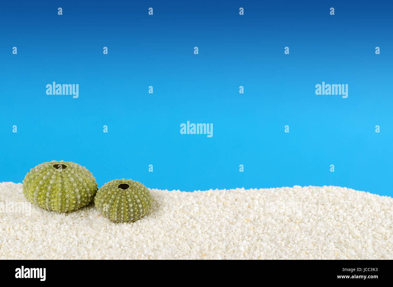 Green sea urchin shell on white sand with blue background. Urchin, also sea hedgehog, with globular endoskeleton, - Stock Image