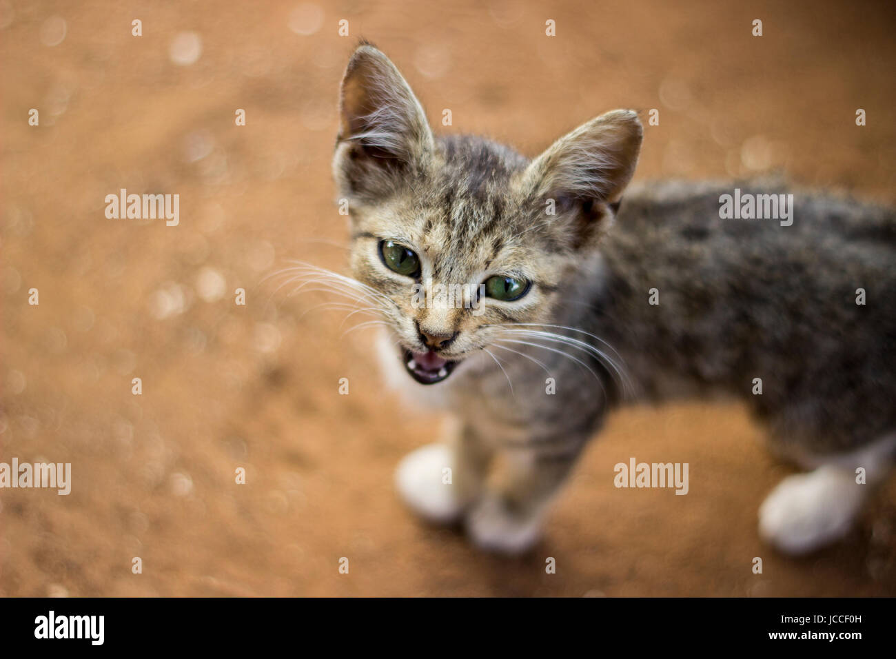 Photograph of a stray kitten mewing in Kenya, Africa. - Stock Image