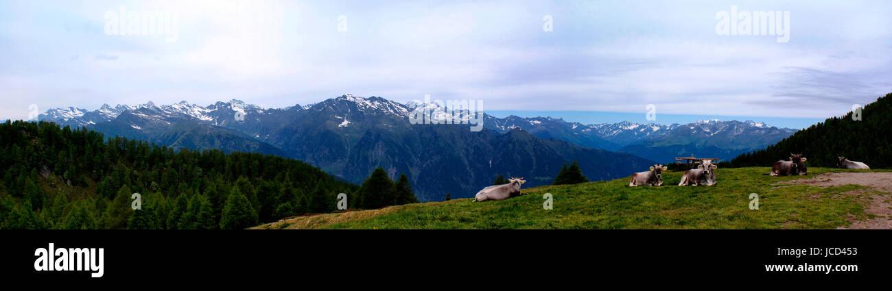 Kühe auf einer Alm in Südtirol, Italien; im Hintergrund die schneebedeckten Berge der Texelgruppe und - Stock Image