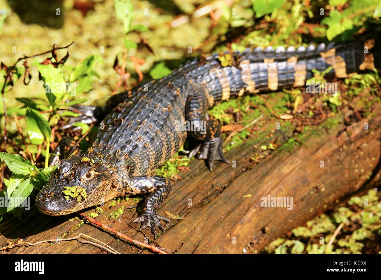 Alligator (Alligator mississippiensis) resting on a log Stock Photo