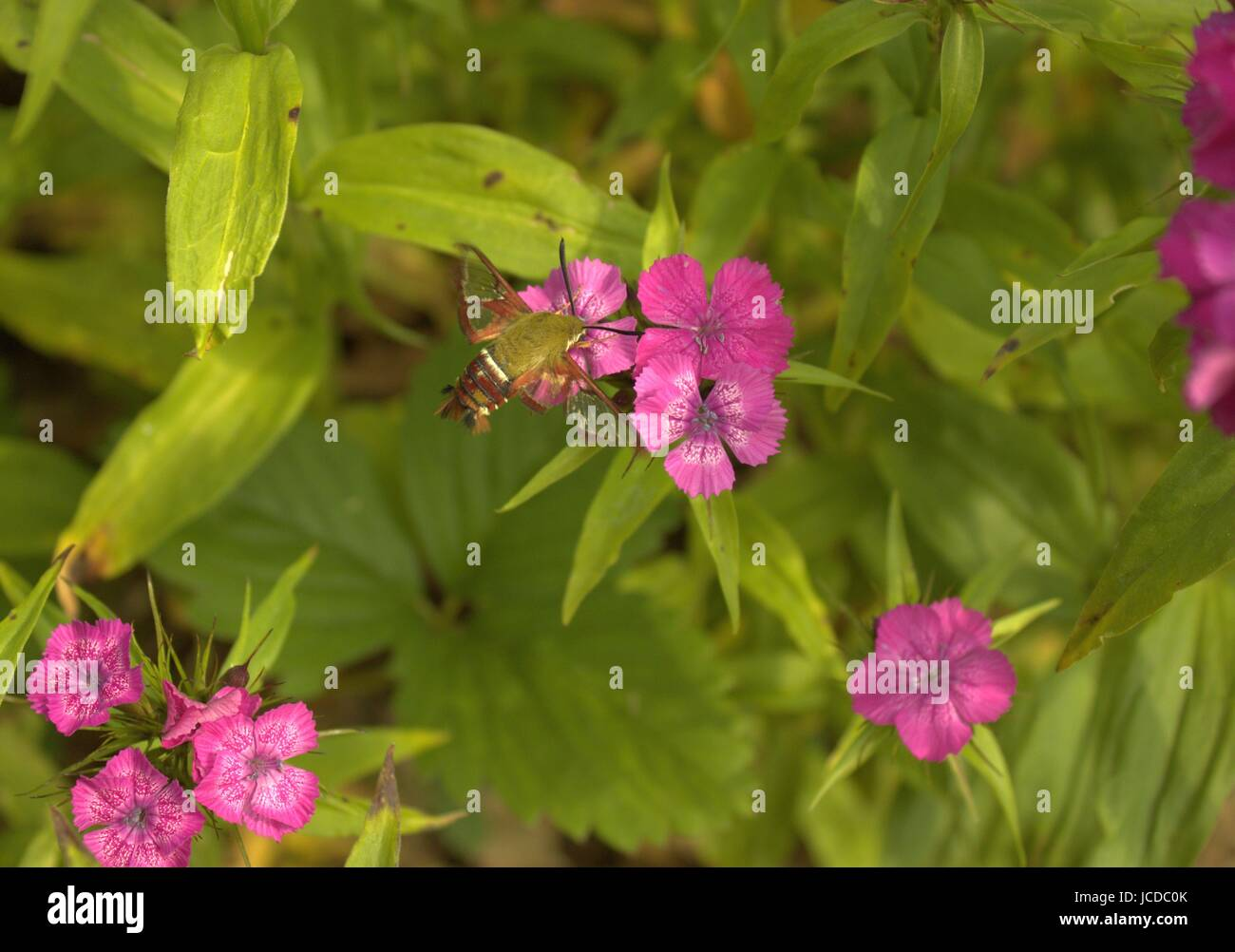 A Hummingbird Moth On Some Sweet Williams Flowers - Stock Image