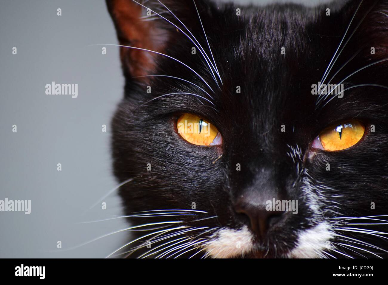 Close-up of black cat with yellow eyes and tuxedo markings - Stock Image
