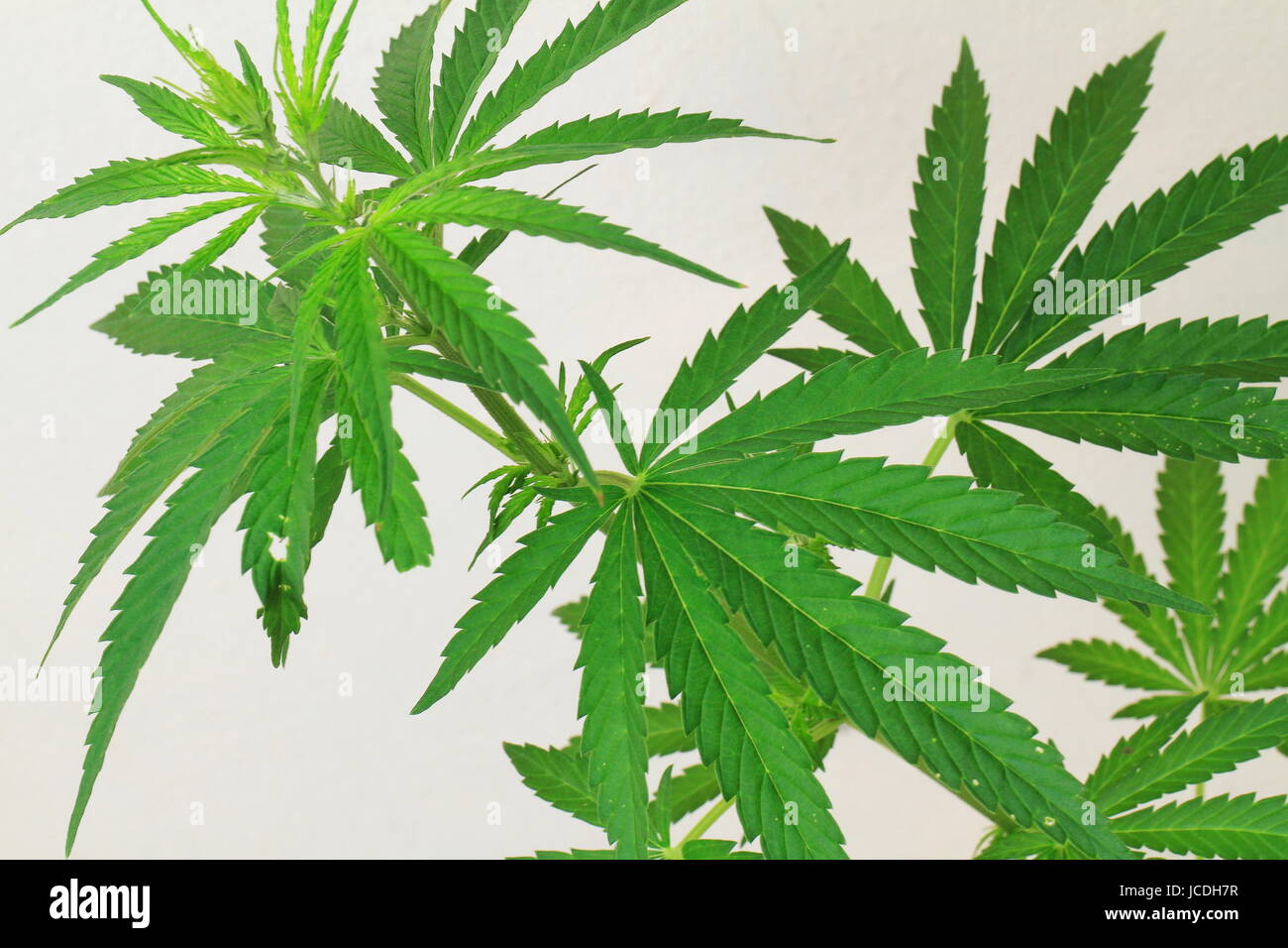 Cannanbis plant on an isolated background - Stock Image