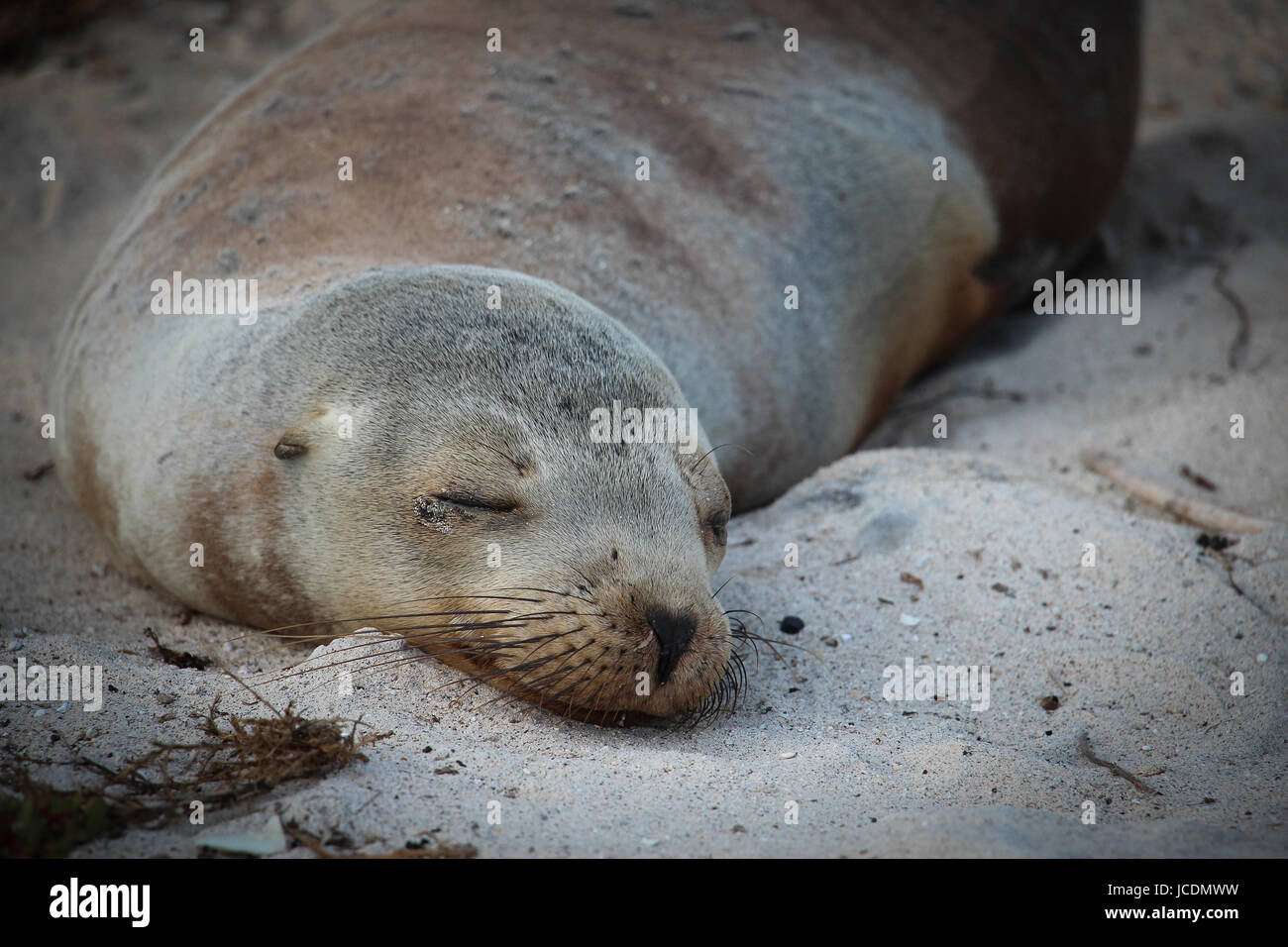 Snoozing on the beach, a Galapagos sea lion (Zalophus wollebacki) takes a siesta. Sea lions lounge in groups on - Stock Image