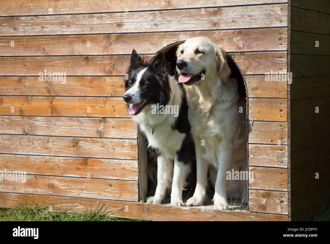 border collie and golden retriever are standing at wooden doghouse