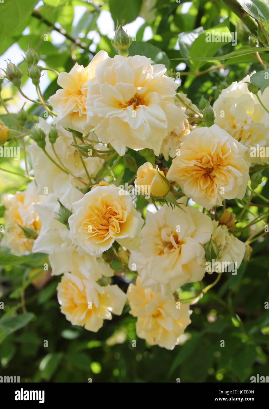 Rosa 'Alister Stella Gray', ('Golden Rambler') a repeat flowering, fragrant noisette rose, climbing over an arch Stock Photo