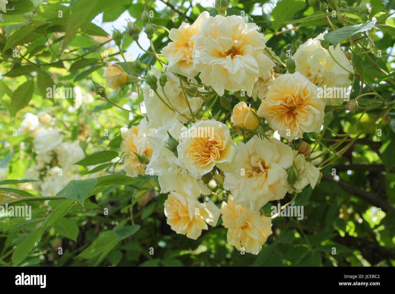 Rosa 'Alister Stella Gray', ('Golden Rambler') a repeat flowering, fragrant noisette rose, climbing - Stock Image