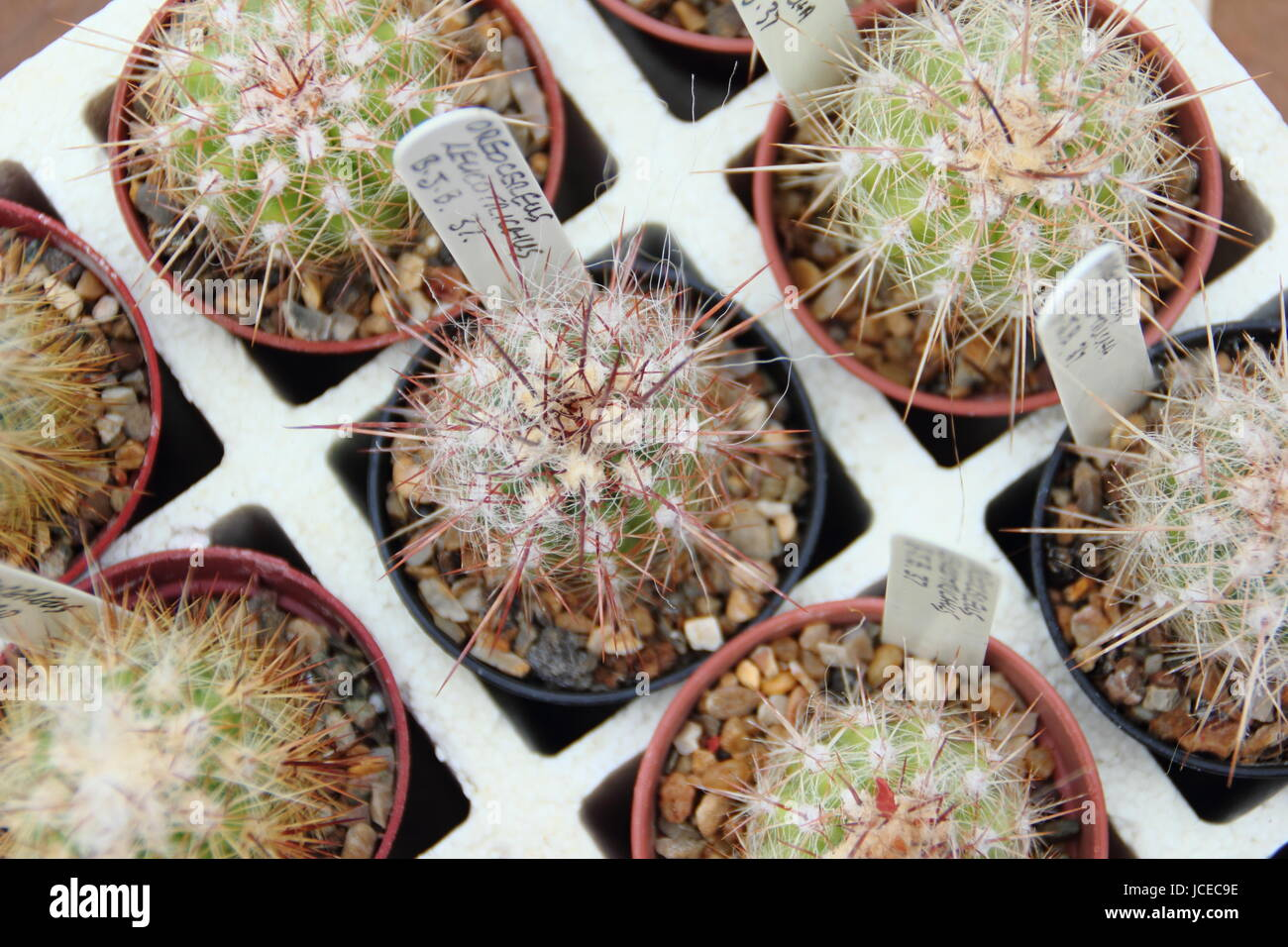 Cactus Houseplants For Sale At An Annual Cactus Show Featuring