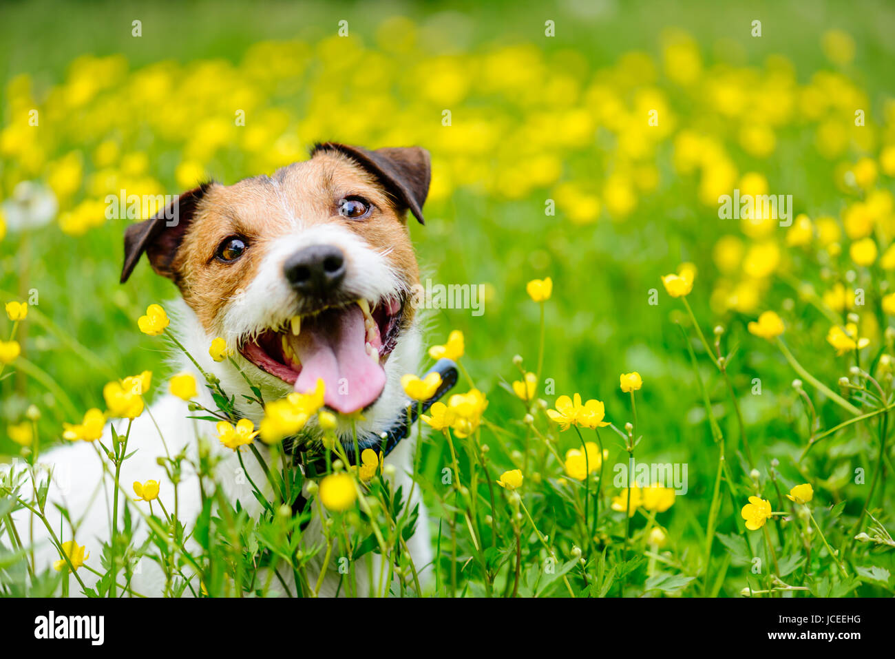 Happy dog sitting at  field of buttercups flowers looking at camera - Stock Image
