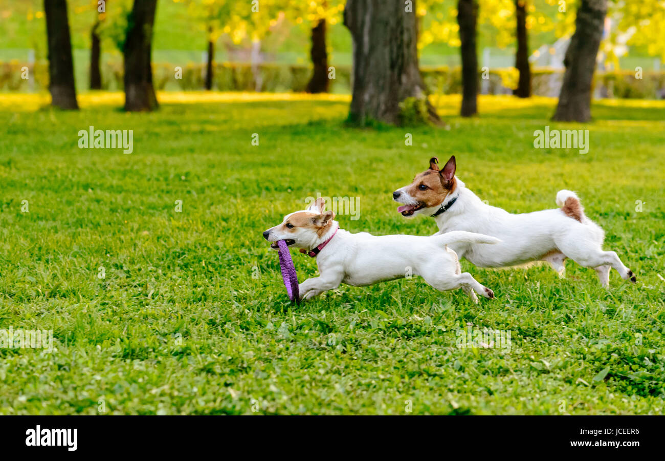Two dogs running at park lawn playing with puller toy - Stock Image