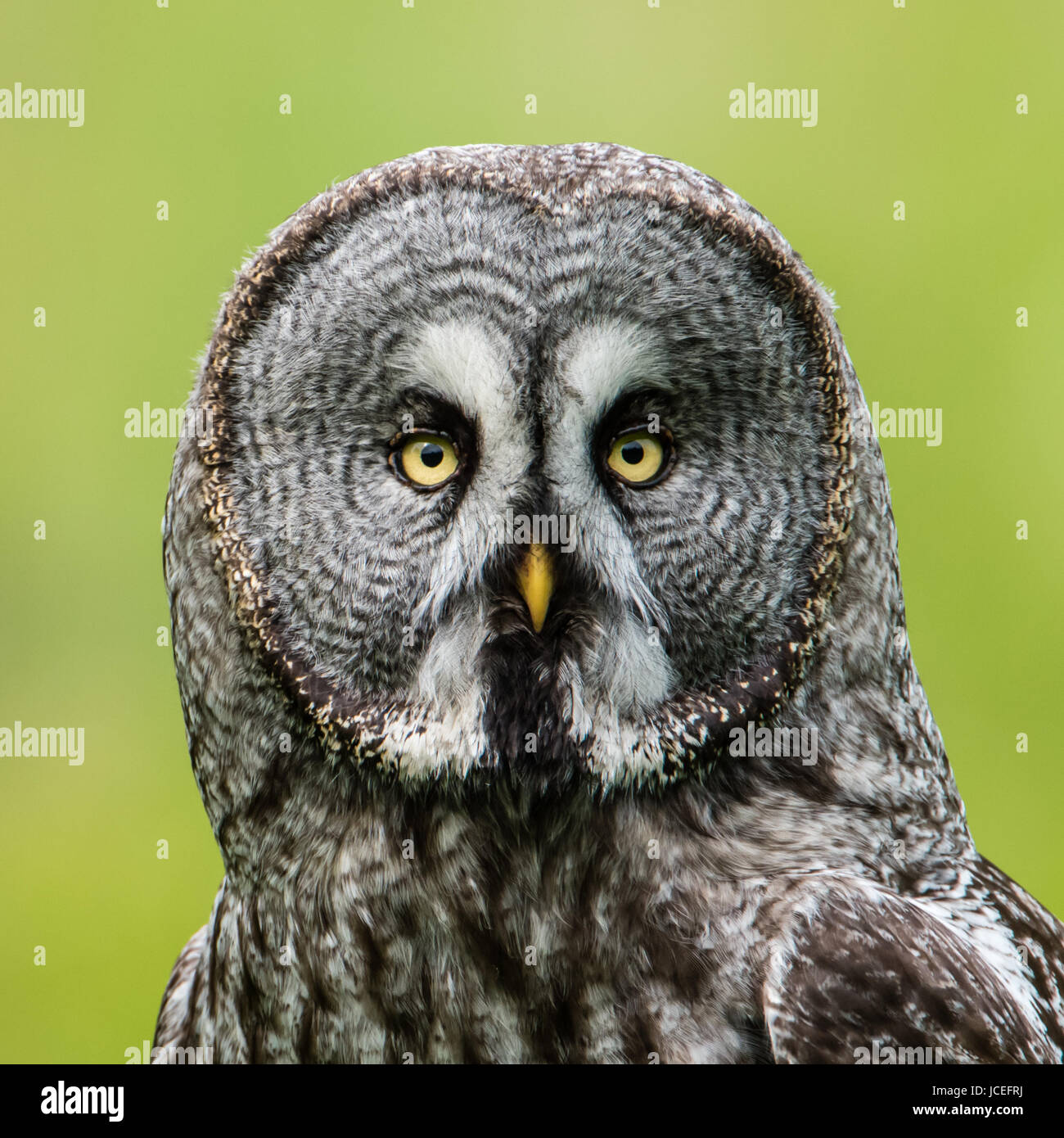 A Great Grey Owl (Strix Nebulosa) shows his beautiful face in this squared close up portrait  when perching on  - Stock Image
