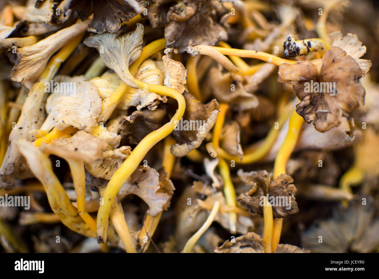 Pile of Dried Shiitake Mushrooms Close Up Background. Healthy Eating. Stock Photo