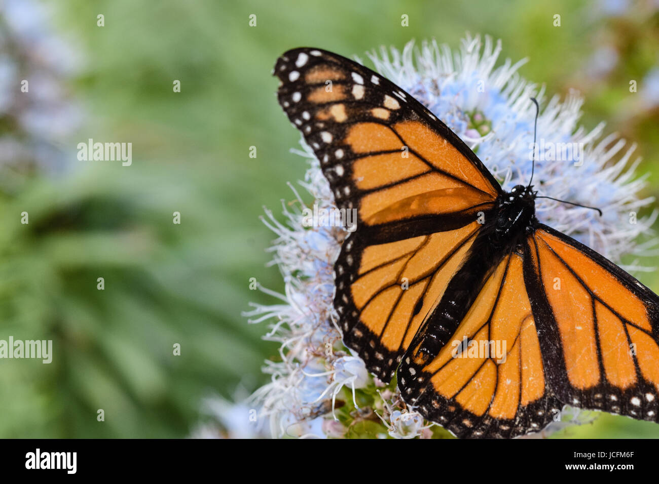 Large monarch butterfly collecting nectar pollen from purple echium flower - Porto Santo, Madeira, Portugal - Stock Image