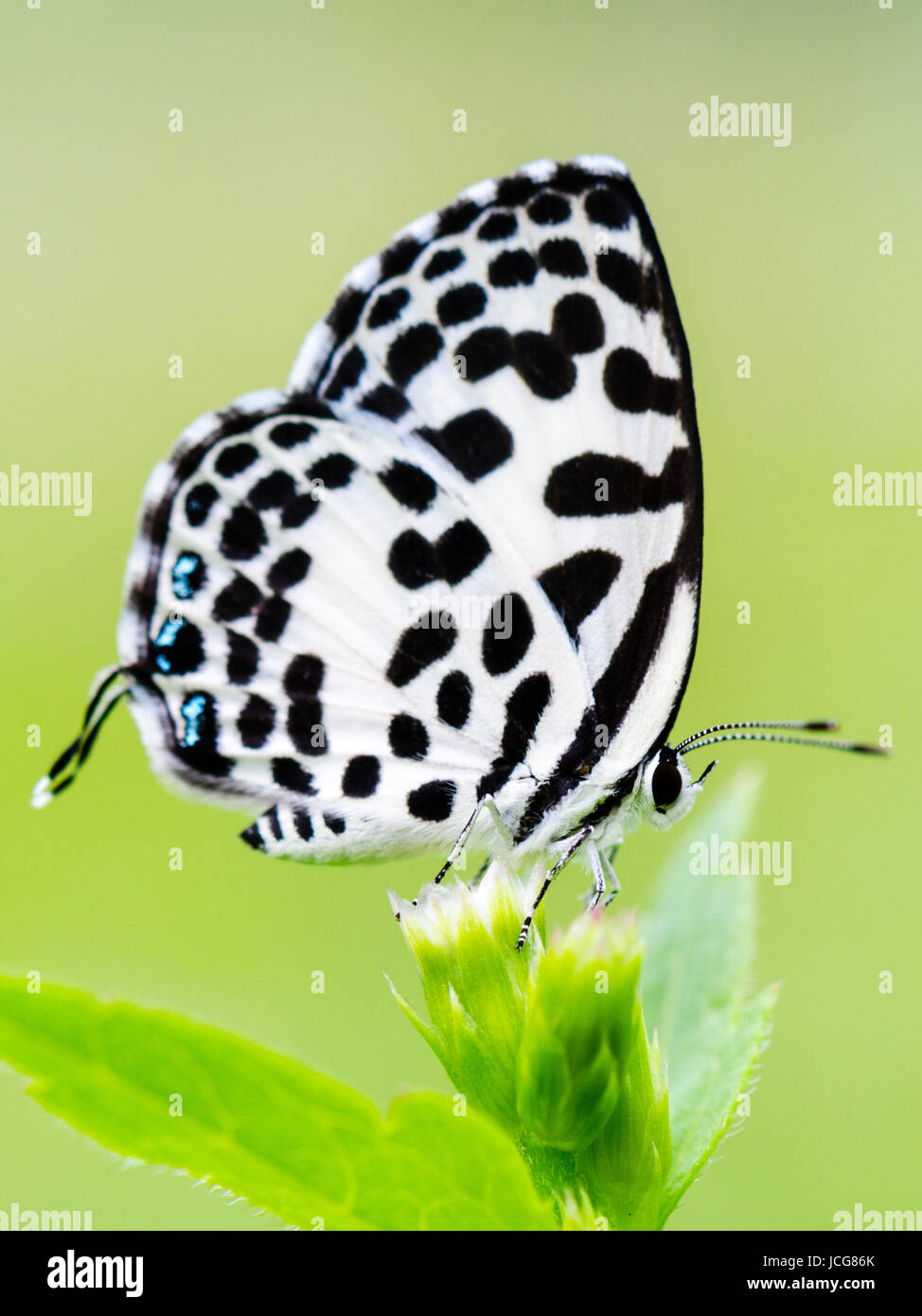 Close up small white butterfly with black spots on the flower of grass common pierrot or castalius rosimon