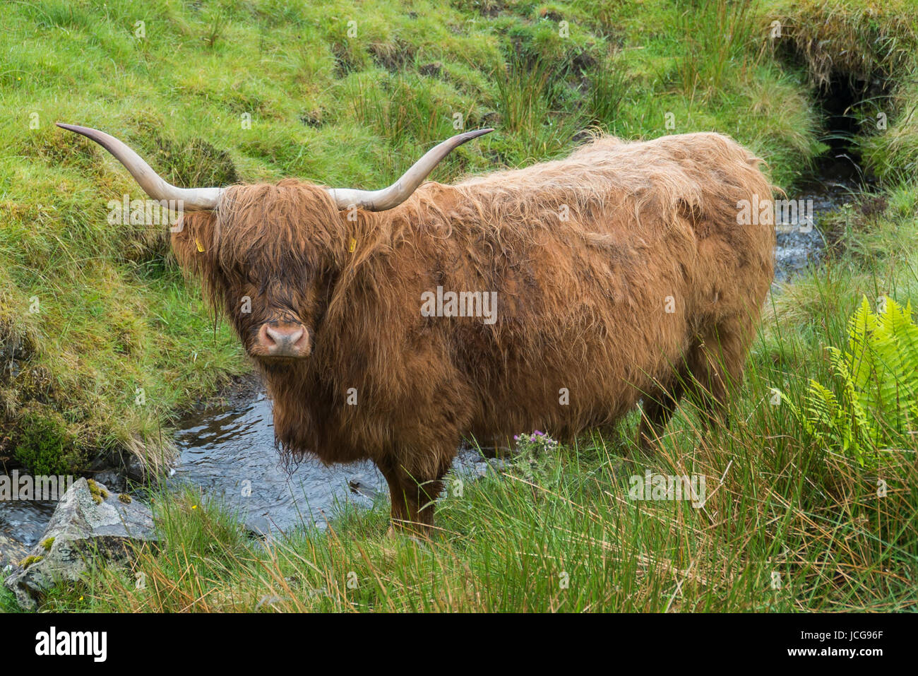Scottish Beef Stock Photos & Scottish Beef Stock Images ...