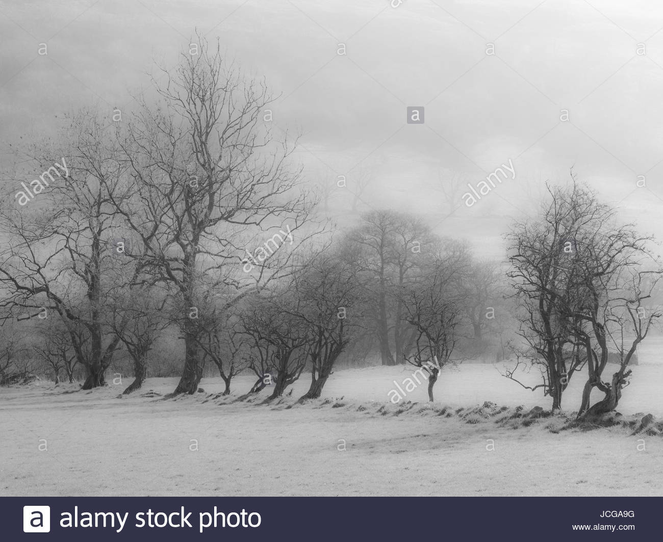 Black and white high key image of row of trees in fog stock photo