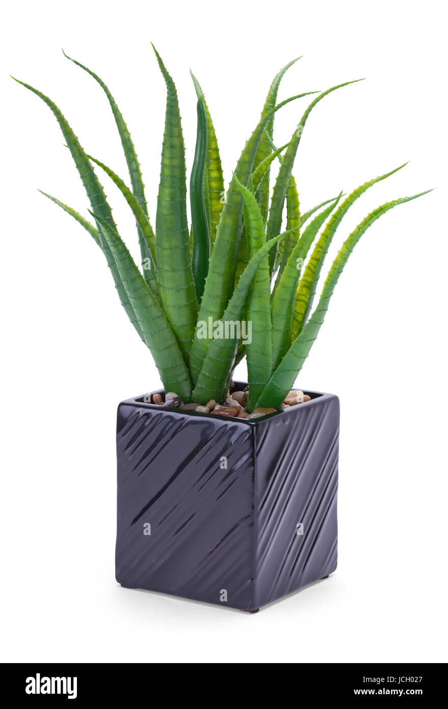 office flower pots. Office Plant In Black Pot Isolated On White Background. Flower Pots