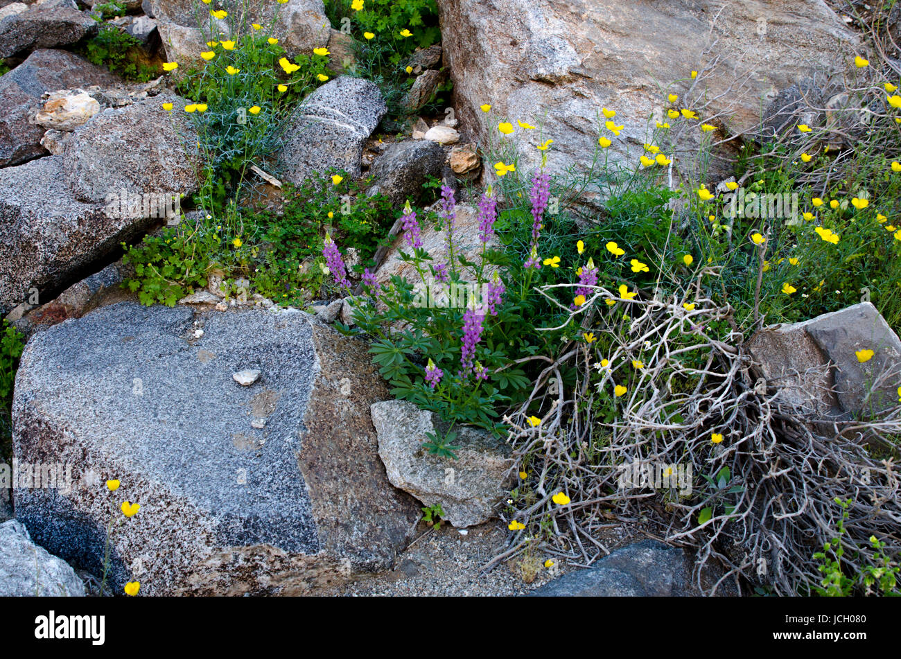 Anza-Borrego State Park Superbloom Spring 2017 - Stock Image