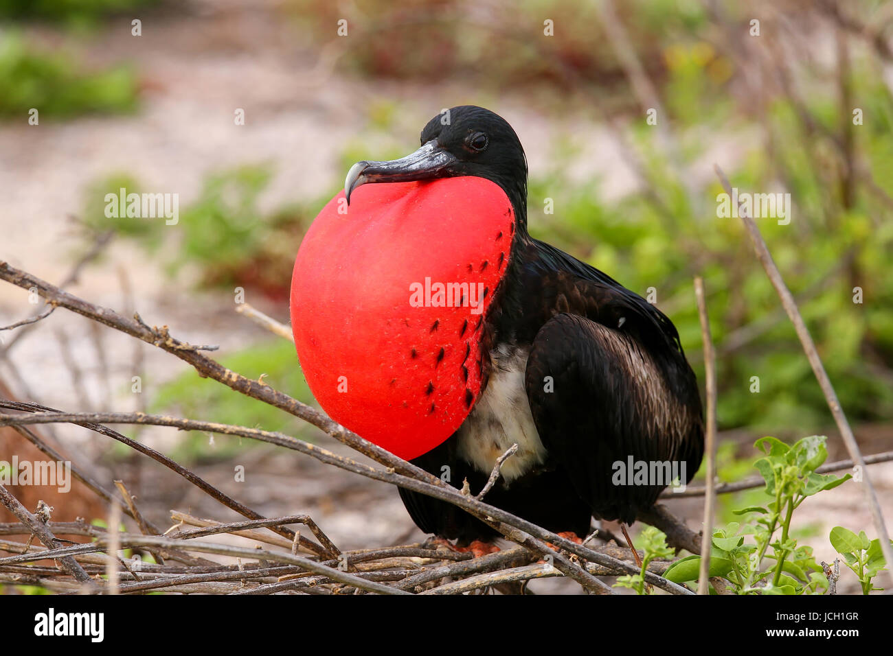 Male Magnificent Frigatebird (Fregata magnificens) with inflated gular sac on North Seymour Island, Galapagos National - Stock Image