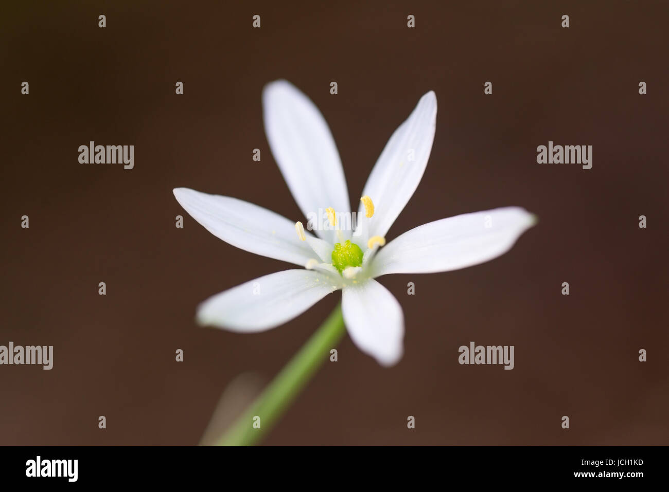 A Single White Flower With Six Petals Star Of Bethlehem Stock Photo