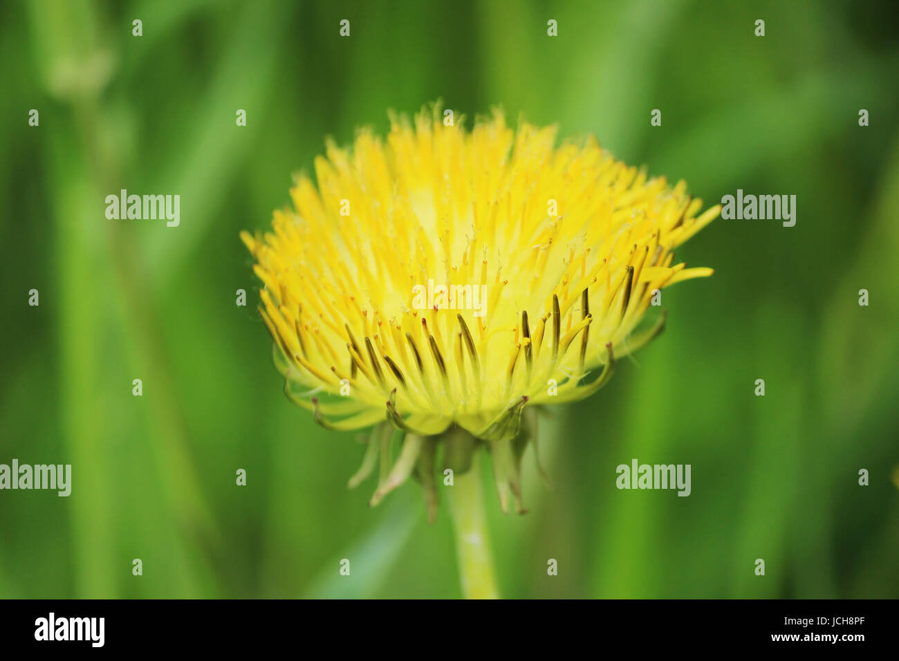Defective dandelion Taraxacum officinale one yellow flower with atrophied petals grows on too fertilized soil - Stock Image