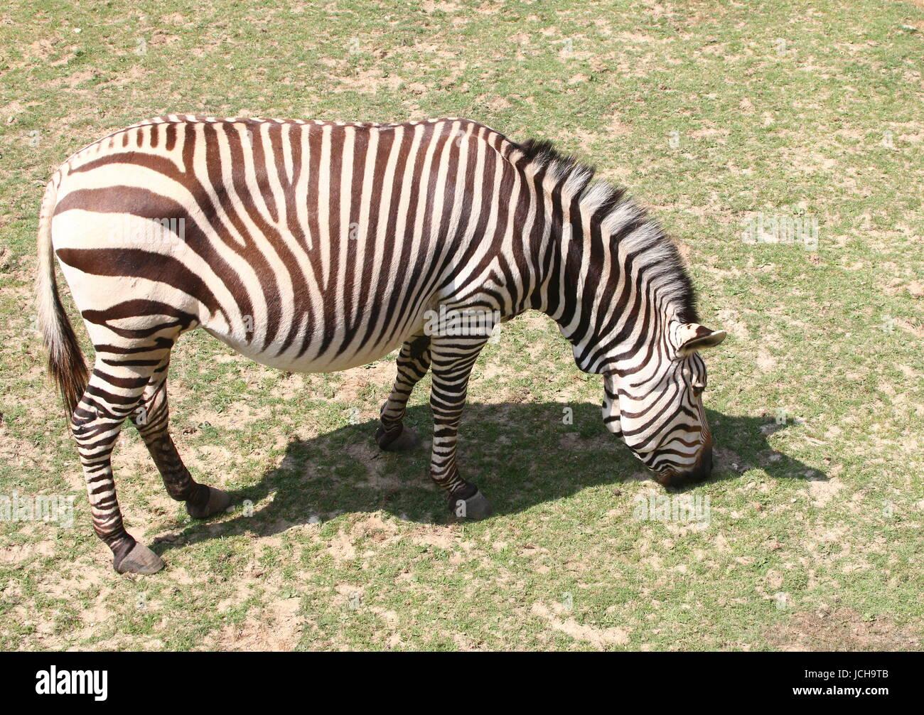 Hartmann's mountain zebra (Equus zebra hartmannae), a rare subspecies of the South African Mountain Zebra, found - Stock Image